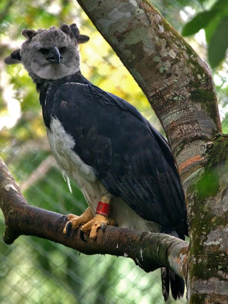 Harpy Eagle (the national bird of Panama)